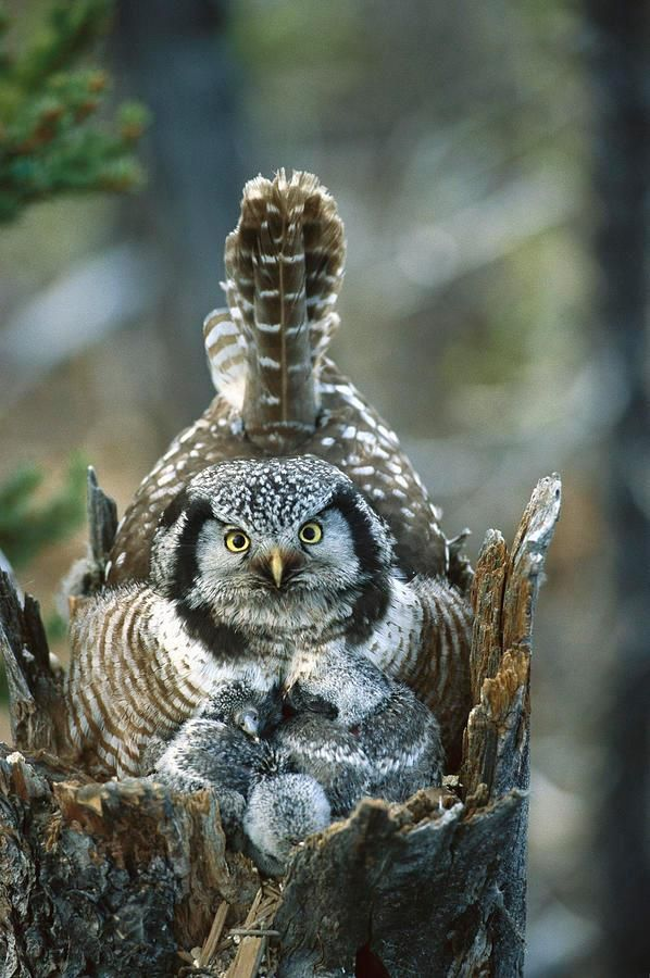 Northern hawk owl & babies photo by Michael Quinton They're one of the few owls that aren't nocturnal & are found in northern boreal forests. Size is a few inches larger than an American robin.