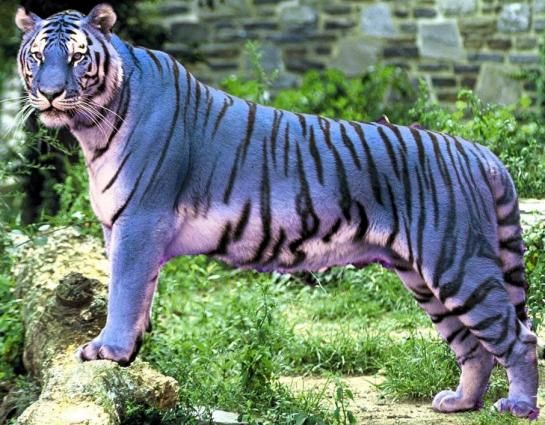 1000 ideas about blue tigers on pinterest freshwater