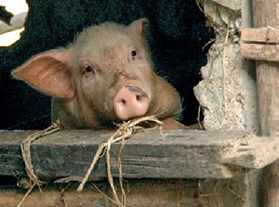 2 Pigs - Pigs have a special talent for turning food waste (rinds, peels, husks) into nutrient-rich fertilizer, making family gardens more productive.
