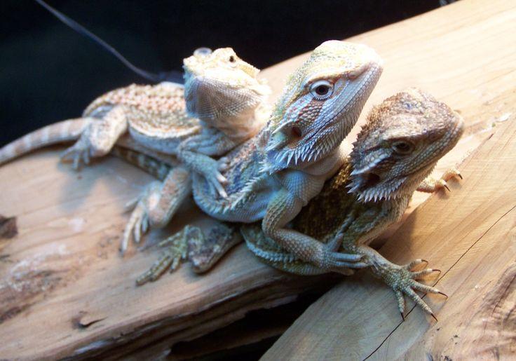 61 best images about Pet Dragonz -- Pogona vitticeps on ...