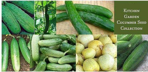 Cucumbers are a warm-season plants that can grow in any amount of space. They are creeping vine that roots in the ground and grows up trellises or other supporting objects, wrapping around them with its thin, spiraling tendrils. The growth of these plants is fast, and can produce in abundance if you take proper care of them.