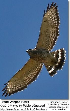 Broad Winged Hawk Buteo Playpterus Kansas Birds Backyard