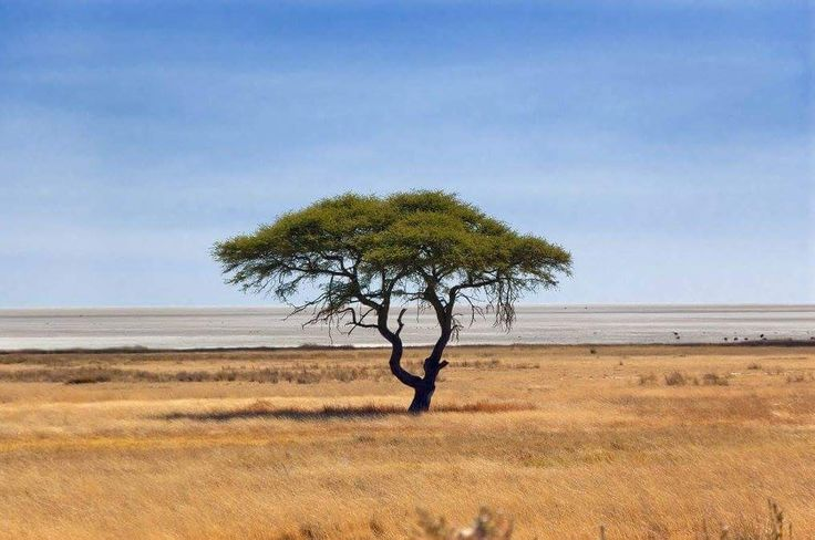 Places of interest to visit in Namibia. Western Etosha National Park - Arid savannah dominates the landscape of Etosha, with shrub and thorn scrub occurring in the west. The eastern regions feature open savannah and broadleaved woodland comprised mainly of Mopane trees, acacia trees and leadwood trees.......#wildlife #namibia #photosafari #tourism #extremefrontiers #bush #adventure #holiday #vacation #safari #tourist #travel