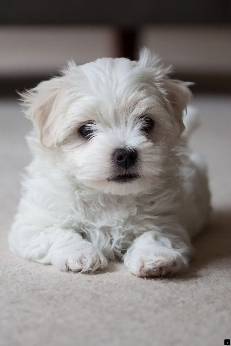 This Is Must See Web Content Learn More About Chihuahua Just Click On The Link To Read More In 2020 Maltese Dogs Maltese Poodle Maltese Dogs Care