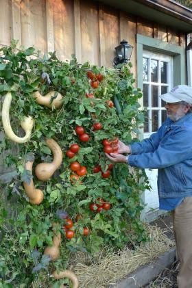 This Skyscraper Garden features climbing Trombone zucchini (from left), Early Cascade tomatoes and Orient Express climbing cucumbers. Not all plants will grow in this manner.  Associated Press