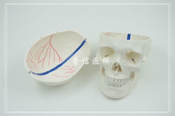 57.46$  Buy now - http://alitut.worldwells.pw/go.php?t=32589425584 - Human skull model  Intracranial vascular model  Medical Science  teaching supplies 57.46$