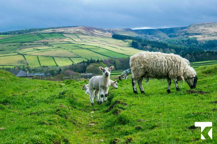 Sheep and beautiful countryside