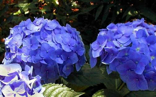 information about growing hydrangeas
