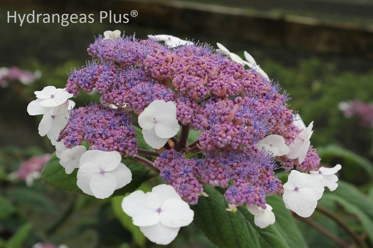 Choose from over 140 varieties of hydrangea plants. Our site features full color photographs and detailed plant descriptions, as well as hints and tips for growing hydrangeas.