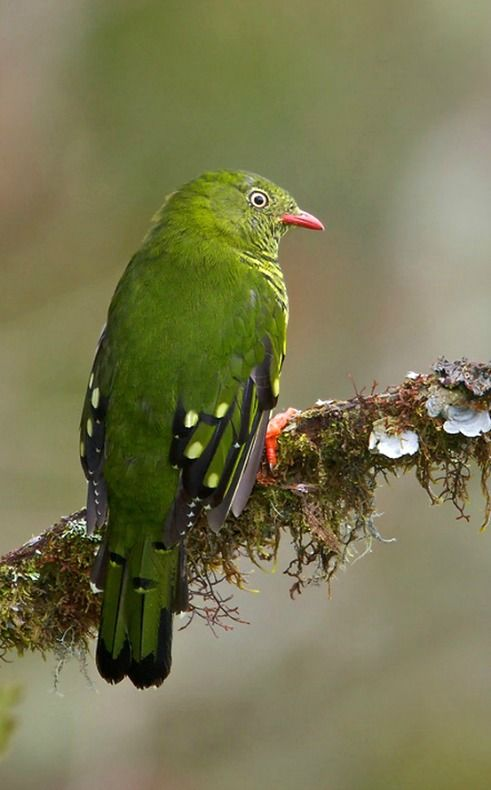 Barred Fruiteater (Pipreola arcuata). Native to forests in South America. photo: Glenn Bartley.