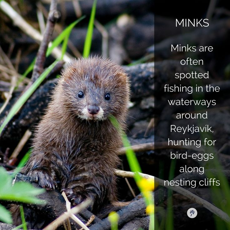 Look at these cute furry babies you can come across in #iceland! #IcelandicAnimals #mink