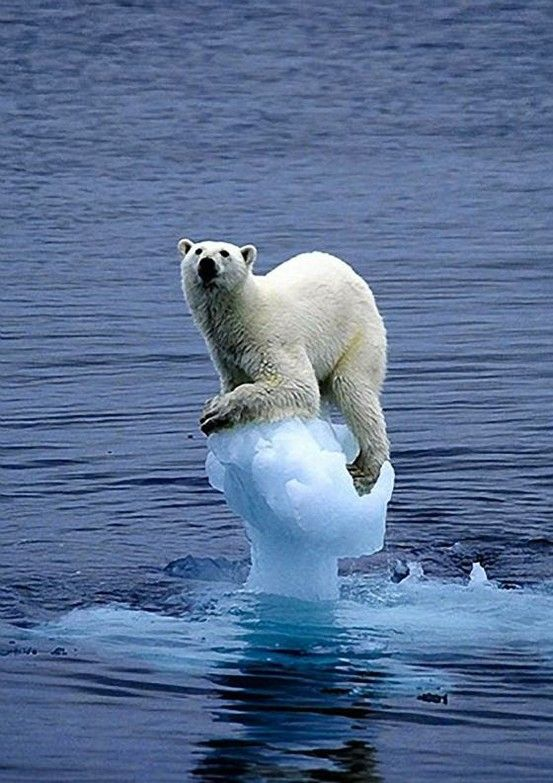 Polar Bear | Most Beautiful Pages ~ Love how blue the water and ice is - for Cameron S.