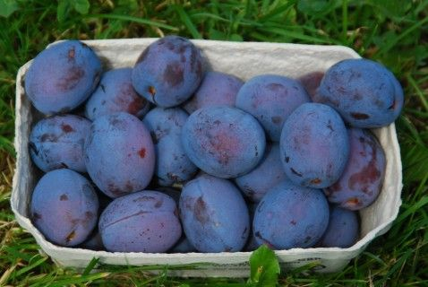 Damson Juna (self-fertile)  The earliest yield (from the end of June to the beginning of July)