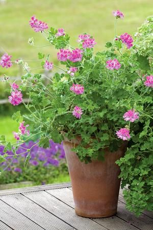 Pelargonium 'Pink Capitatum' has delicious rose-scented leaves with large pretty, pink flowers - fantastic for six months at a stretch. Of the deep pinks, this one is hard to beat - sarahraven