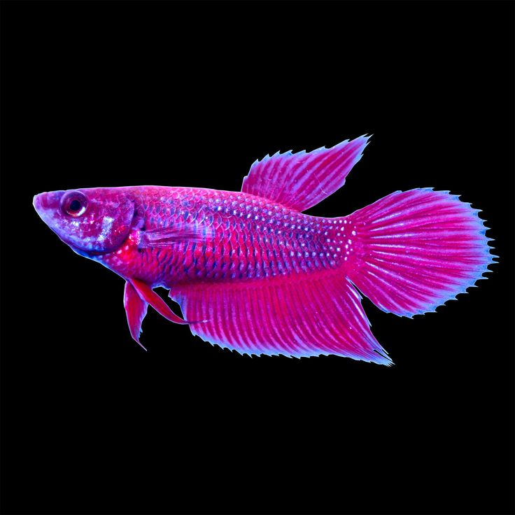 Red Female Veiltail Betta - Red Female Veiltail Betta also known as Siamese Fighting Fish. Known best for their beautiful fins and color. Bettas can breathe from their labyrinth organ which enables the fish to breathe from the surface. - http://www.petco.com/shop/en/petcostore/red-female-veiltail-betta