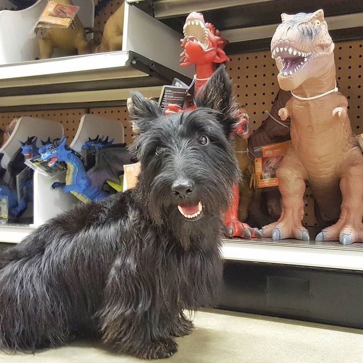 What does a Scottie and a T-rex have in common? Hint: it starts with 'short' and ends with 'limbs'. #HamiInMiami