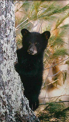 Bear cub says peek-a-boo