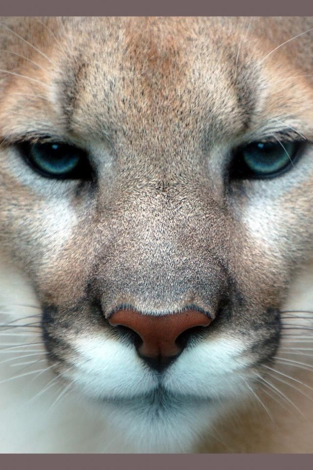 beautiful face... I would love to be able to touch this big cat!
