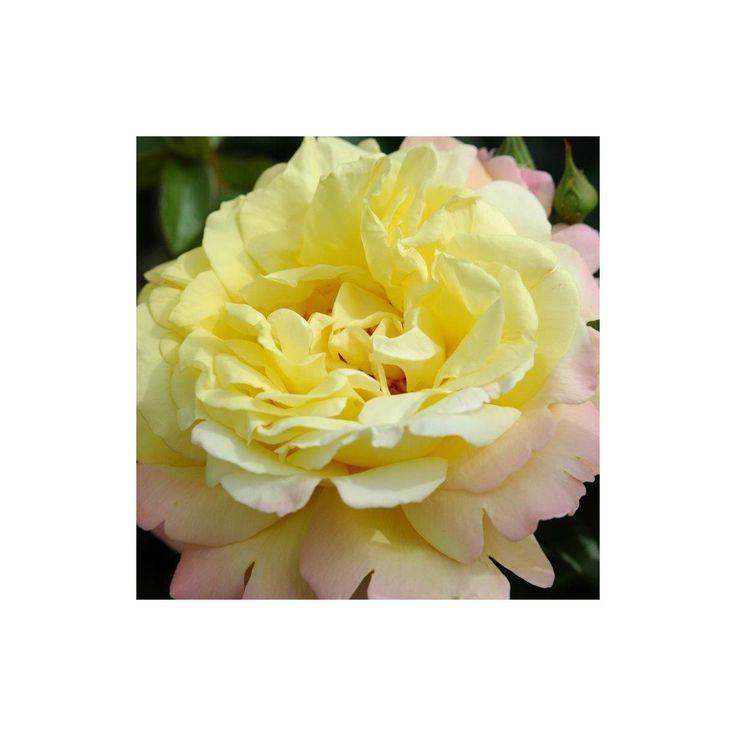 Rosa 'Peace' - Roser - Langeskov Planteskole Blomster- og Havecenter