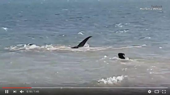 (Video) Un perro entra a la playa a perseguir a 2 tiburones Tigre - http://www.esnoticiaveracruz.com/video-un-perro-entra-a-la-playa-a-perseguir-a-2-tiburones-tigre/