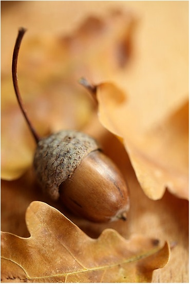 During the Norman Conquest, the English carried dried acorns to protect themselves from the brutalities of the day.