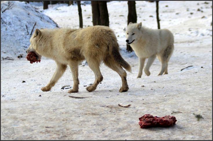 VLK ARKTICKÝ - Arctic wolf  (Canis Lupus Arctos)