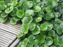 Asarum europaeum Mansoor goede groenblijvende bodembedekker voor een kleine oppervlakte in de schaduw