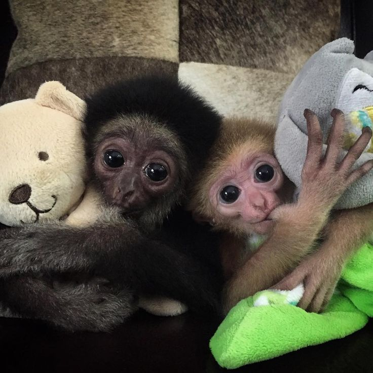 Meet Amaya and Ahmed, two baby white-handed gibbons! When these two grow up, they will be so agile and among the fastest of all primates. Click Visit to learn more about gibbons!