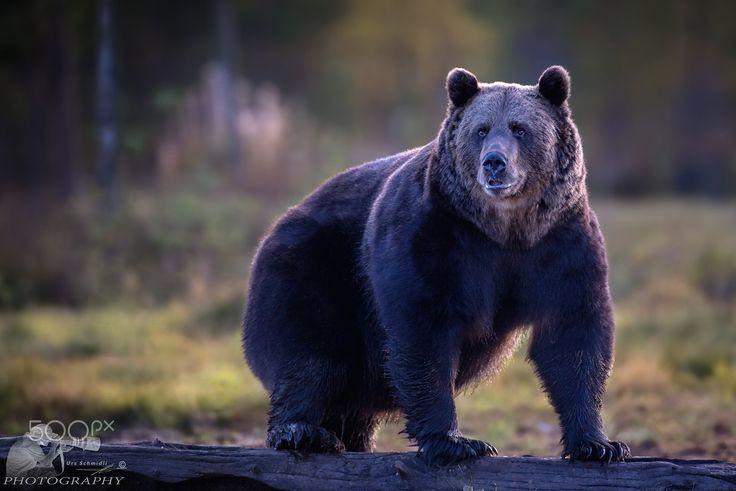 Finnlands größtes Raubtier - Im Reich der Braunbären   Nach über 5 Jahren reisten wir nun zum zweiten Mal in die Wälder Finnlands.  Die Reise ging über Helsinki nach Kajaani und von dort aus ins Boreal Wildlife-Zentrum nach Viiksimo. http://www.schmidli-fotoart.ch/news.html