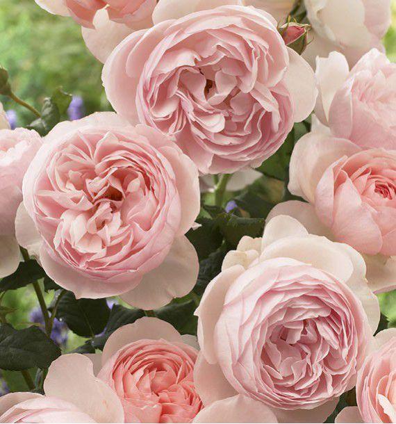 ROSIER ANGLAIS HERITAGE, plante en ligne   Rosier anglais, Rosier et Fleurs en ligne