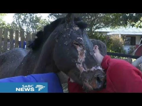 Donations Pour in for Fire-Ravaged Knysna Pony, DOUBLE Fund Target