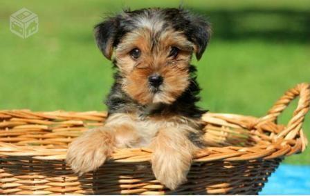 Filhote de cachorro Yorkshire Terrier para adoção