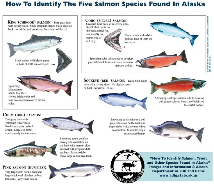 The Best Salmon Species Ideas On Pinterest Salmon Fishing - Salmon fishing map us