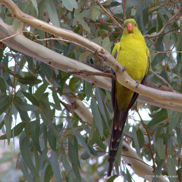 Regent Parrot - Stirling Range, Western Australia - ©2014 Scott Buckland