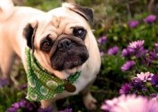 #Pugdoginformation including #dogbreedprice, temperament, facts about pugs, images and many more under one place at dogexpress.in