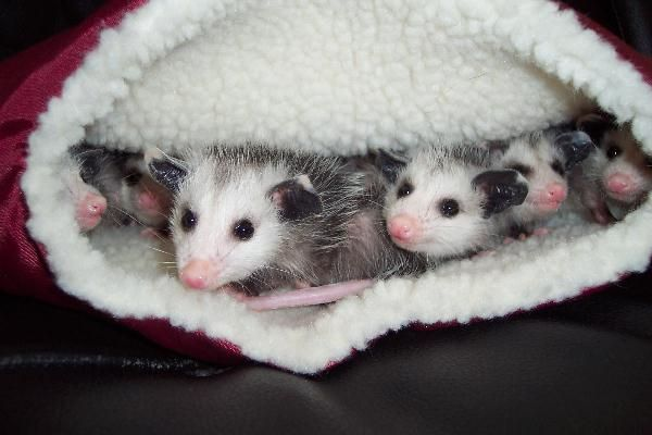 Pouch o possums: Animal Advocate, Animal Baby, Baby Opposum, Baby Opossum, Animal Wisdom, Animal Families, Baby Possum, Animal Natural, Adorable Animal