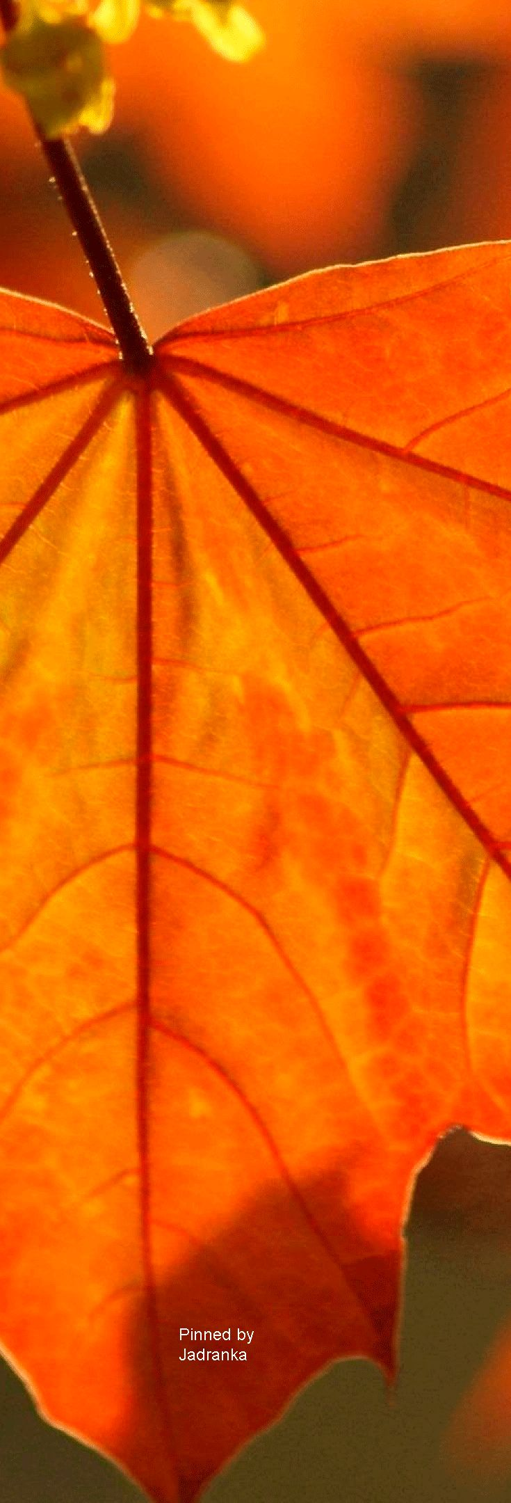 Beautiful Autumn Orange Leaf