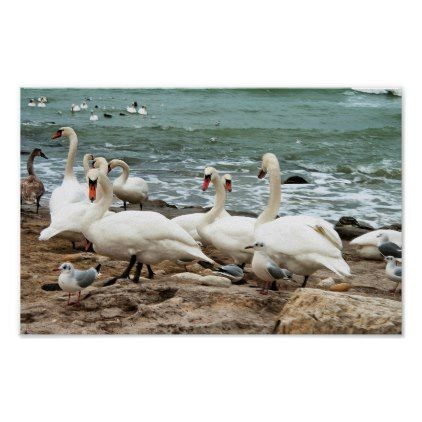 Swans on the beach. poster -nature diy customize sprecial design