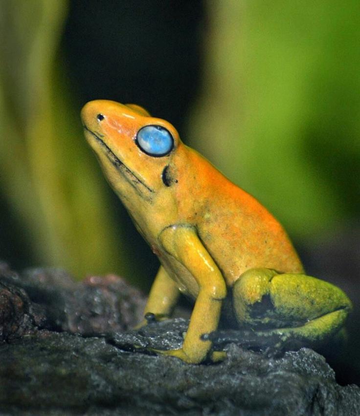 Amazing Frog: Black-legged Dart Frog