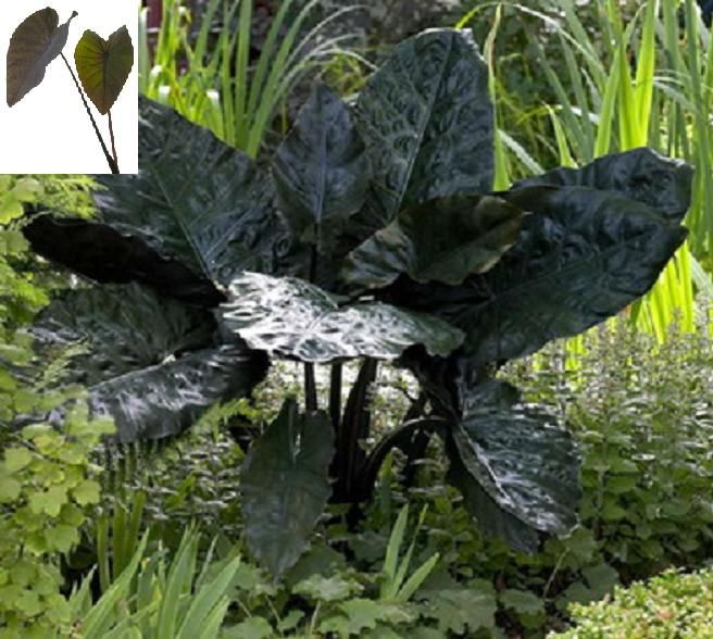 Alocasia Nigra - shiny metallic black leaves -- moderately hardy