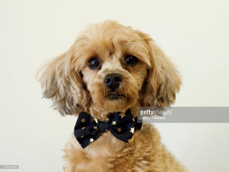 Foto de stock : Portrait of small cute dog wearing black and gold bow tie facing camera