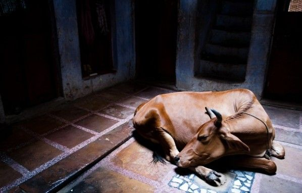 """Peaceful Moment  Photographer Matej Lancic    """"I was walking on Varanasi [India] streets and suddenly saw this holy cow sleeping. It was a very peaceful moment."""" In Hindu culture, the cow is viewed as the source of food and symbol of life and therefore, they may never be killed. Hindus do not eat beef because of this reason, and most families have a dairy cow that they treat like a member of the family (much like many Westerners consider their dog or cat to be a part of their family)."""""""