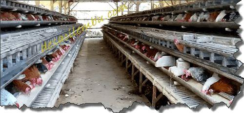 Cara Ternak Ayam Kampung Untung Hingga 200 persen | DESA CILEMBU