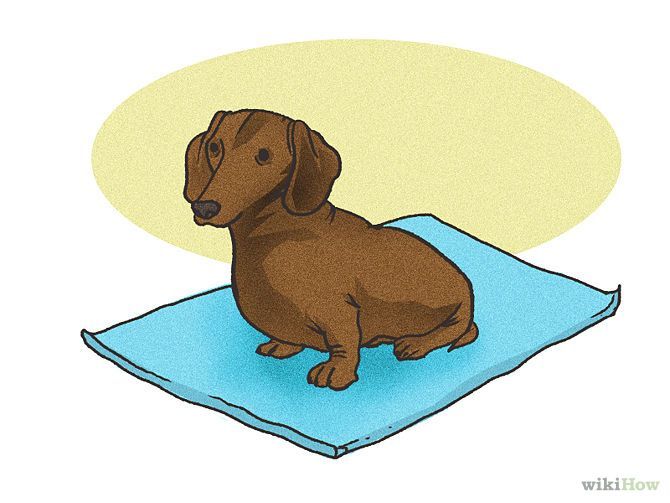 Groom a Smooth (Short haired) Dachshund Step 1.jpg