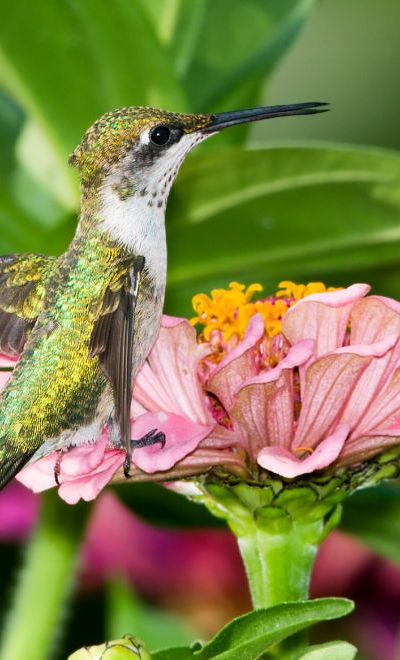 500 best images about Hummingbirds on Pinterest Photo