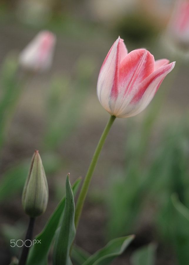 April tulips - April 2017