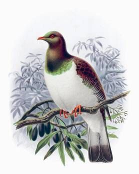 bullers birds - Google Search