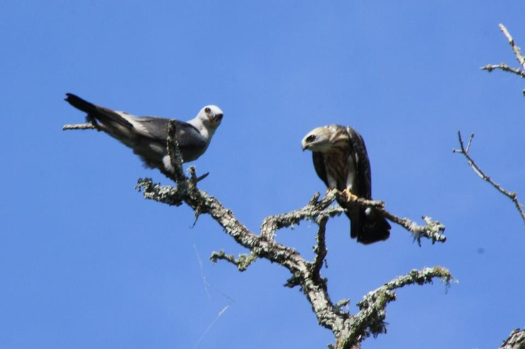 Texas Parks and Wildlife shared Linda Petru Follis's photo.  A Mississippi Kite and her fledgling near a campsite at Texas Parks and Wildlife - Buescher State Park near Austin.: State Parks, States Parks, Mississippi Kites, Shared Linda, Follis Photo, Buescher States, Linda Petru, Petru Follis, Texas Parks