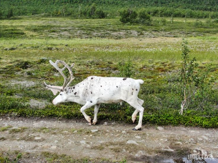 Reindeer on the path to Kebnekaise