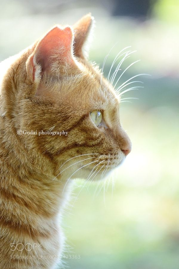 Street cats 307 - My twitter account:) https://twitter.com/godaiphotograph Godai photography  All photo rights are reserved Godai.